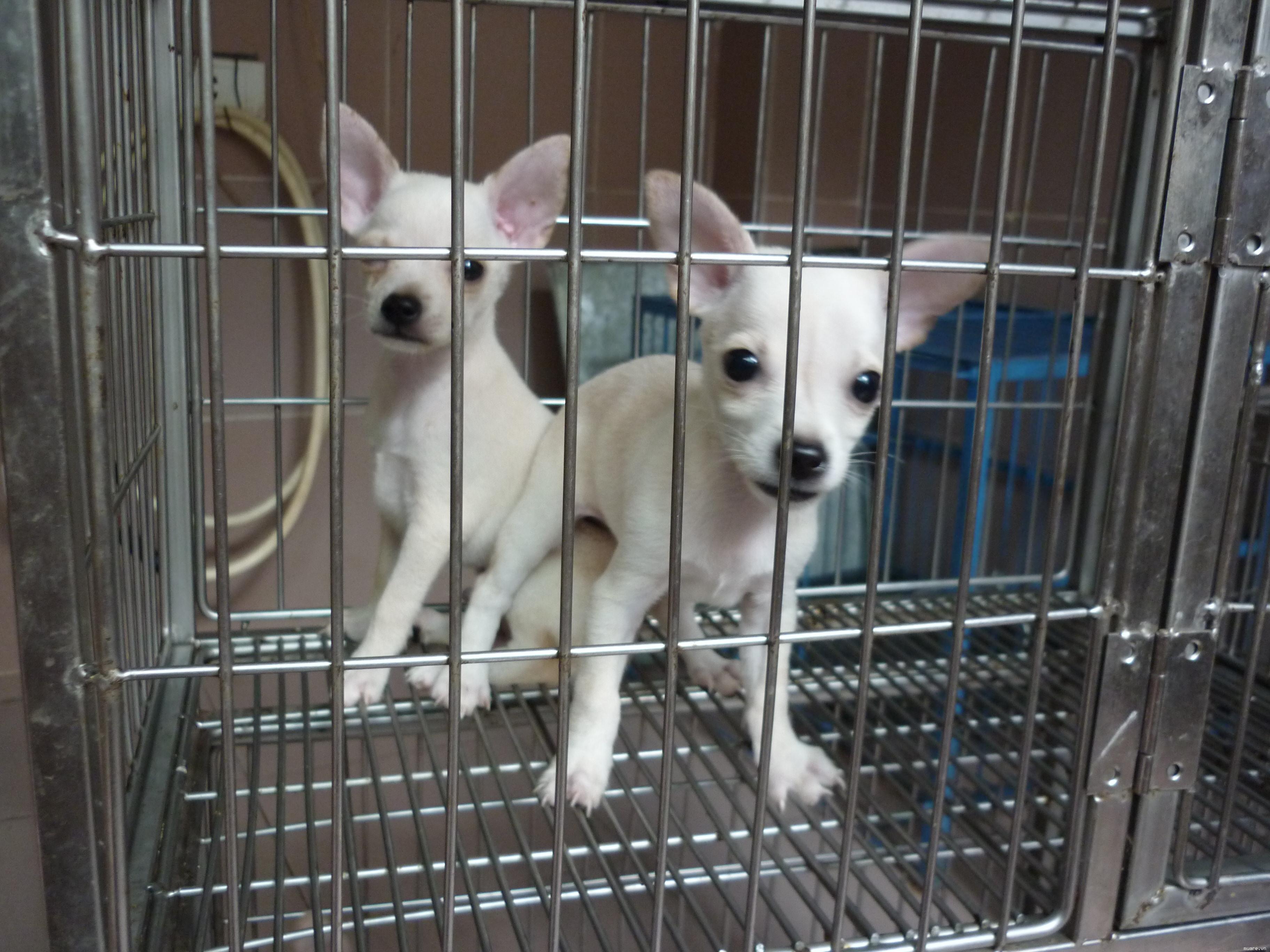 Bán chó phốc Chi hua hua phốc hươu thuần chủng rất đẹp, nhận phối giống chó phốc